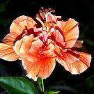 Orangey-peach hibiscus by  B. Randi Bailey