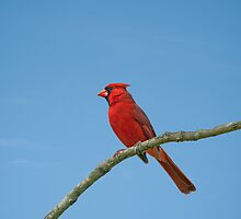 Cardinal against a blue sky by Bonnie T.  Barry