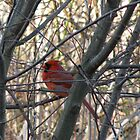Cardinal in Tree by Lauryn Guyer