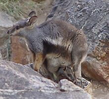 Black-footed rock wallaby by Kimberleygal
