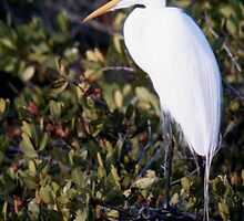 White Heron by Roger Otto