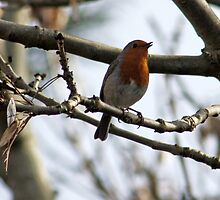 Robin singing by AnnDixon