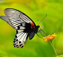 Great Mormon Butterfly 3 by Tony Wong