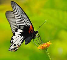 Great Mormon Butterfly 4 by Tony Wong
