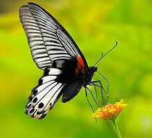 Great Mormon Butterfly 6 by Tony Wong