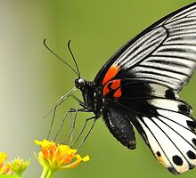 Great Mormon Butterfly 7 by Tony Wong