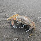 Crab On Beach -Tasmania by eisblume