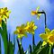 Narcissus in Sunshine by ienemien