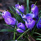 Spring Crocus by Kathy Nairn