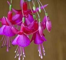 The Fuschia's bright by Steve plowman