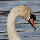 Mute Swan by Luci Mahon