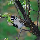Male Downy Woodpecker by Catherine Sherman