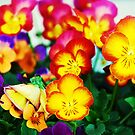 Pansies by Kalena Chappell