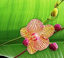 Orchid and Buds © by jansnow