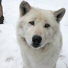 White Wolf by starbucksgirl26