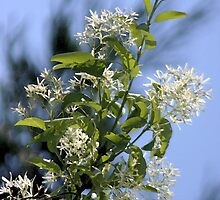 Chinese Fringe Tree by Polly Peacock