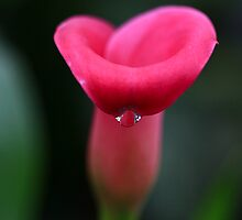Calla Drop of Dew by Deborah  Benoit