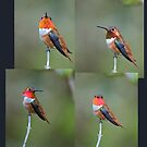 Many Colored Rufous by Bryan Peterson