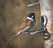 Reed bunting (red list species) by jdmphotography