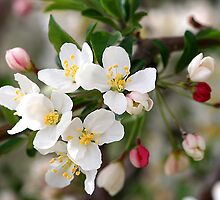 Apple Blossoms by Kelly Cavanaugh