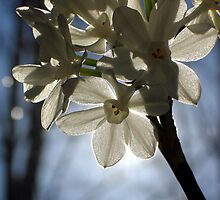 Narcissus in Winter Sun by Ethan Moore