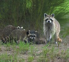 Racoons by Larry  Grayam
