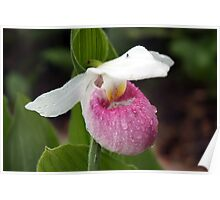 Showy Lady's Slipper Poster