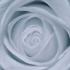Rose - White by Trev159