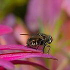 Fly perched on Gerbera Petal by kellimays