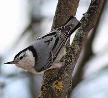 Cute Nuthatch by Teresa Zieba