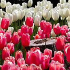 Pink and White Tulips by RavenFalls