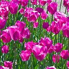 Pink Tulips by RavenFalls