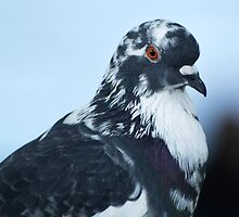 The Profile of a Rock Dove. by DigitallyStill