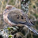 Mourning Dove in Love by maxy