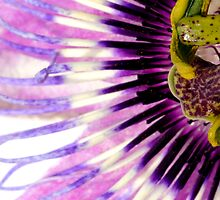 Passion flower by Debora Horwitz