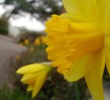 My Daffodil I by Emsky