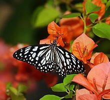 Butterfly on Buganvillea's in my front yard by kellimays