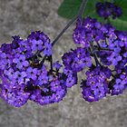 Lantana by Vic Cross