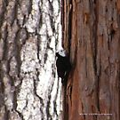 White Headed Wood Pecker by NancyC
