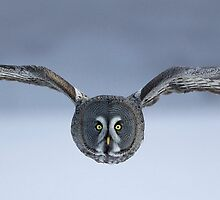 Great Grey owl in flight by wildlifephoto