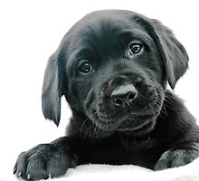 Black Labrador Puppy by mickeyrose