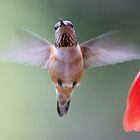 Mrs Rufous by Bryan Peterson