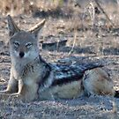 "PERFECT POSE of the ""BLACK-BACKED JACKAL"" by Magaret Meintjes"