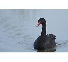 Black Swan At Dusk Photographic Print