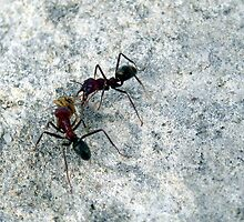 Ant fight by Stacey Pritchard