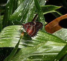Cethosia biblis by Karin Lewis