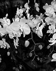 Orchids in Black and White by Margie Avellino
