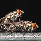 Mating Flies by namida