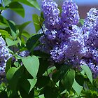 Lilacs in Spring by Ruth Lambert