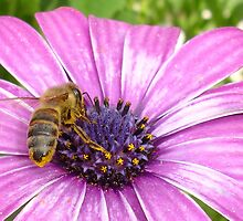 Bee on Blue Eyed Daisy by taiche